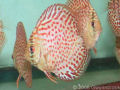 Red Spotted Leopard Discus Fish