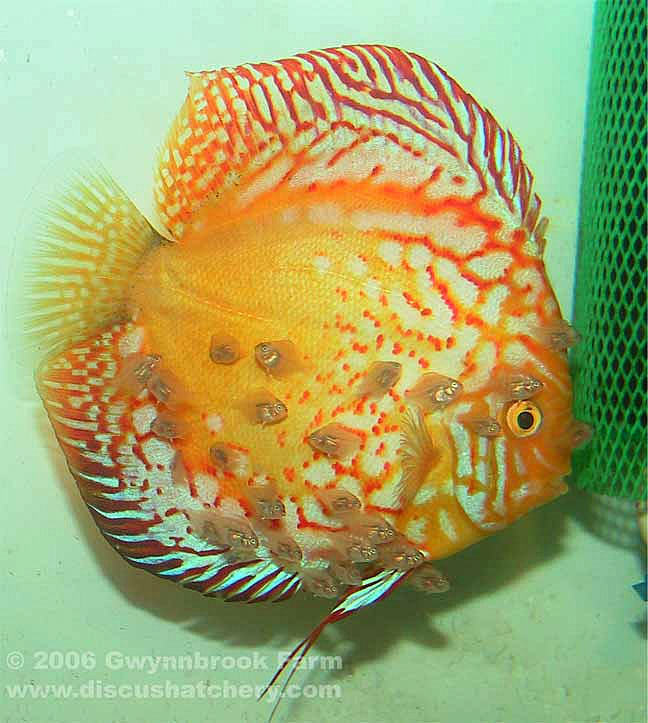 Pigeon Blood Discus Fish Breeding Pair With Fry