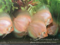 White Diamond Discus Fish