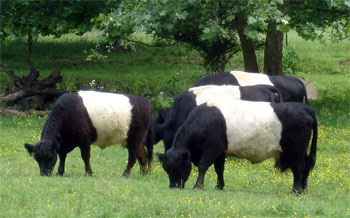 Belted Galloway Cows Gwynnbrook Farm