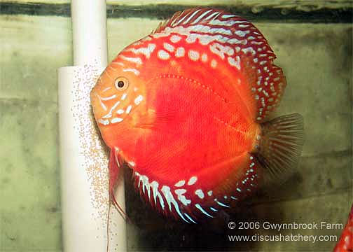 Discus Fish Mated Pair