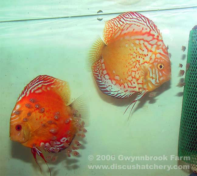 Discus Pair with fry