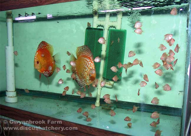 discus fish breeders in 50 gallon aquarium