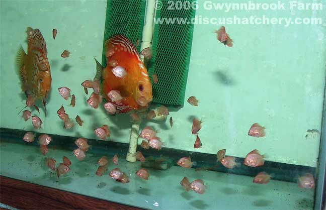 pigeon blood discus pair