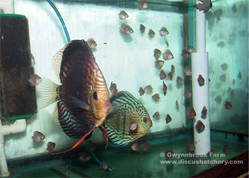Red turquoise discus breeding pair with fry