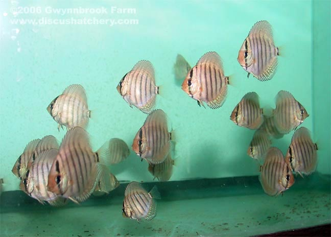 young red turquoise discus fry