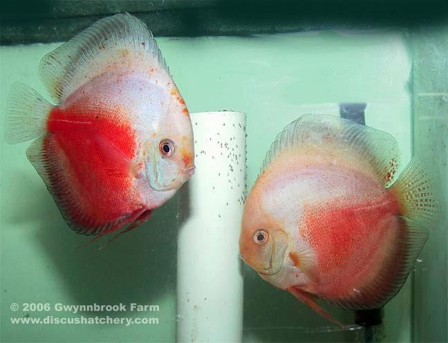 Red White Discus Pair with fry