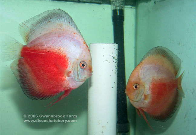 Red White Discus Fish Pair guarding wrigglers on pipe