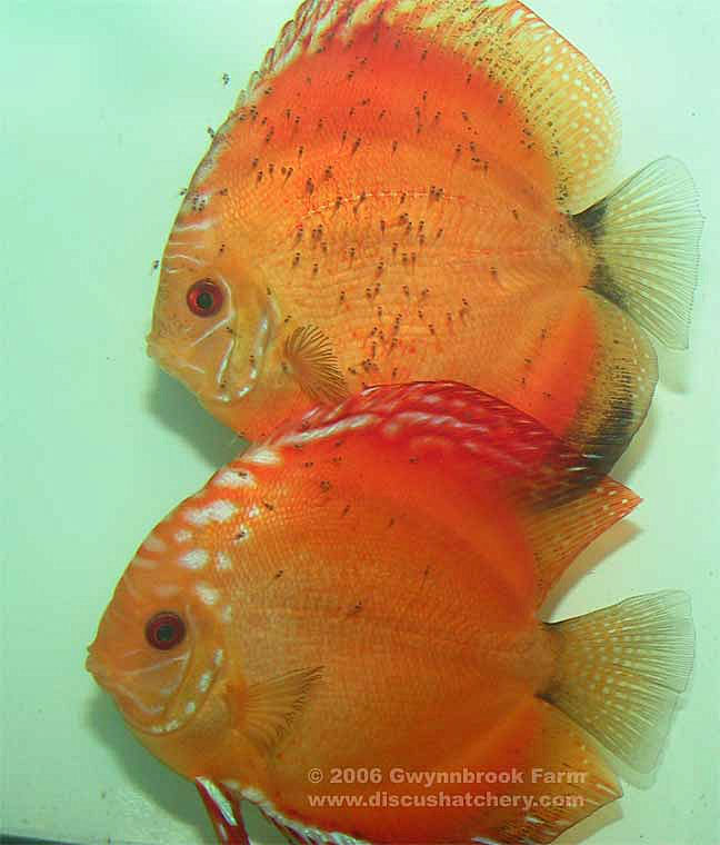 Discus breeding pair with fry