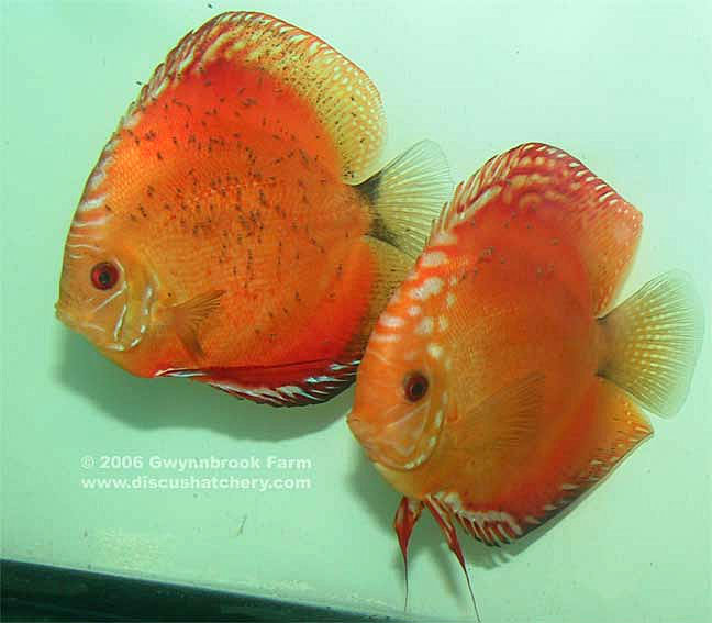 Discus Mated Pair with fry