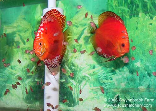 tangerine breeding discus pair with fry