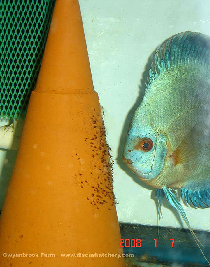 blue diamond discus breeding pair with discus fry