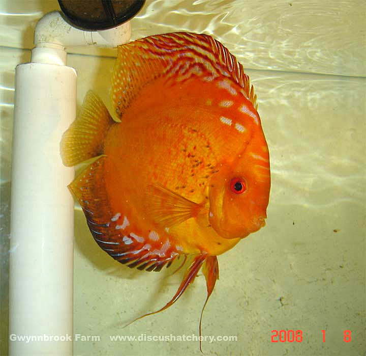 orange discus pair with fry