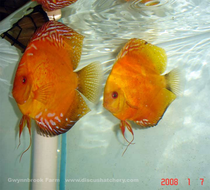discus breedes with small fry
