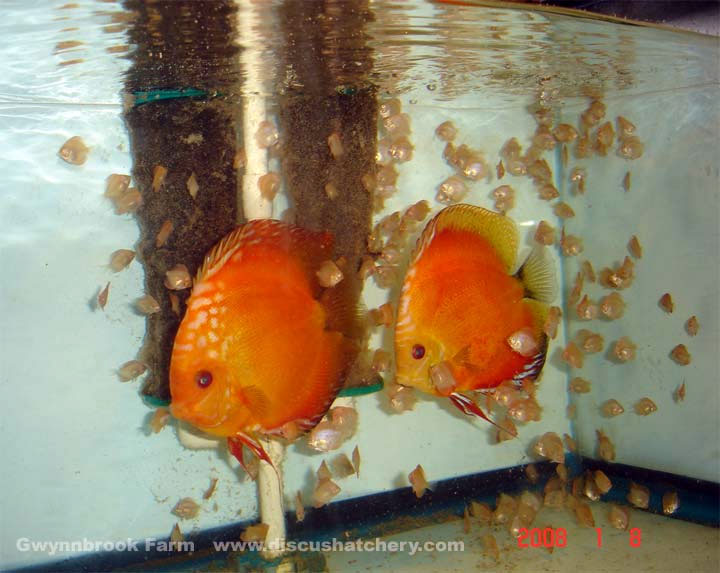 discus fish pair with lots of fry