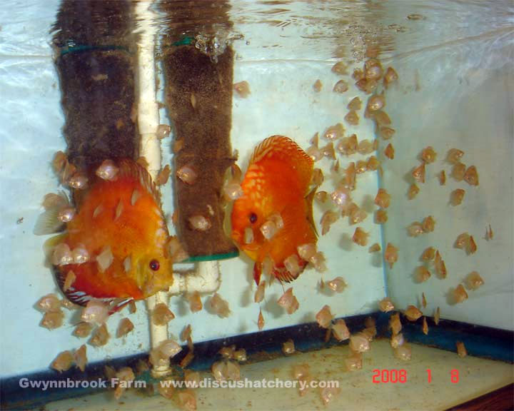 discus breeding pair with discus fish fry