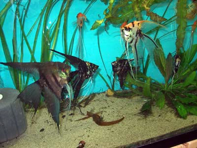 Discus fish tank mates article compatible tropical fish for Fish compatible with angelfish