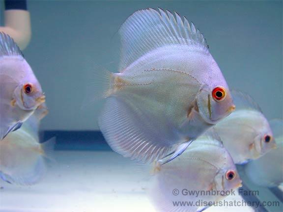 Blue diamond discus fish for Discus fish price