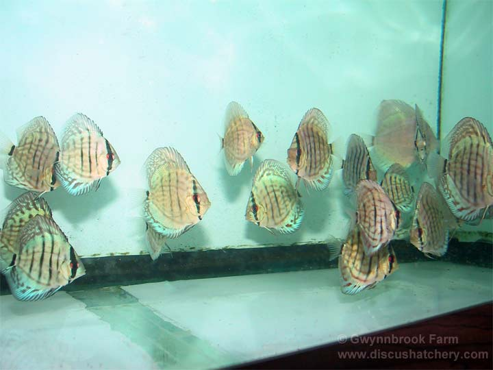 young shoaling turquoise discus fish