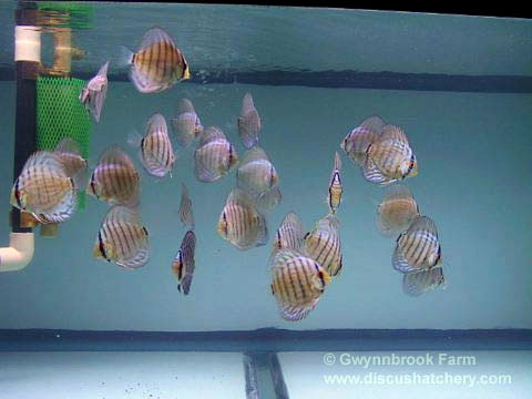 small shoaling group of brilliant turquoise discus at gwynnbrook farm