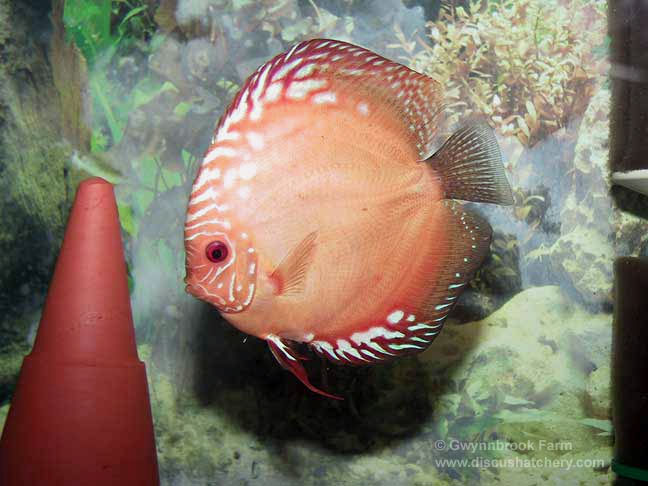 Photo of Adult Tangerine Discus Fish