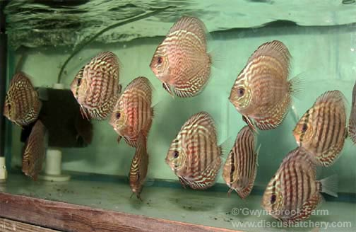 Young red turquoise discus fish
