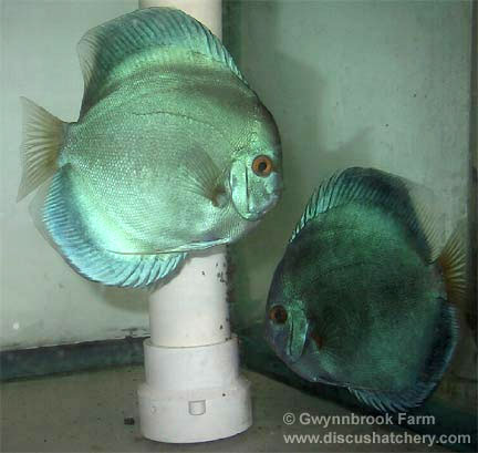 blue diamond discus pair guarding wrigglers