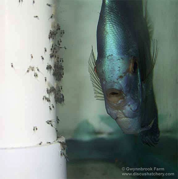 Blue diamond discus fish fry on pvc pipe