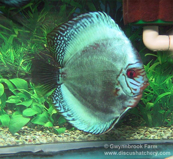 adult cobalt discus fish at gwynnbrook farm