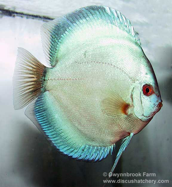 gorgeouse blue diamond discus fish