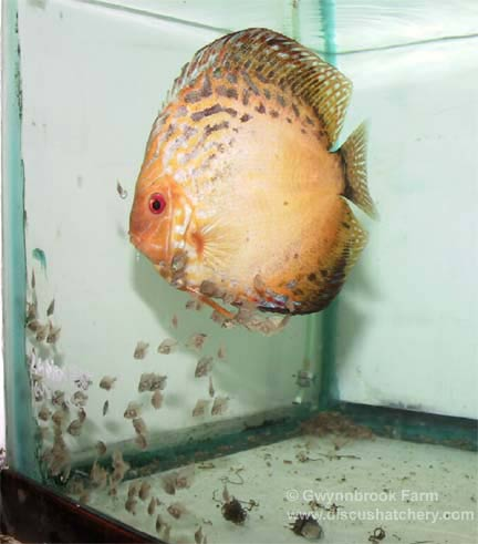 Pigeon blood discus fish with fry