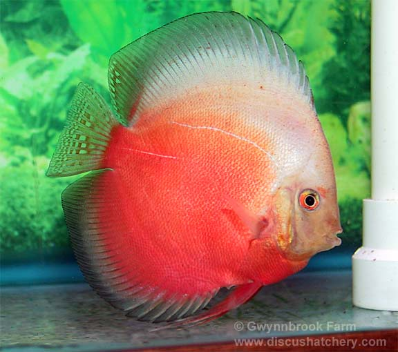 Adult Red White Discus Fish