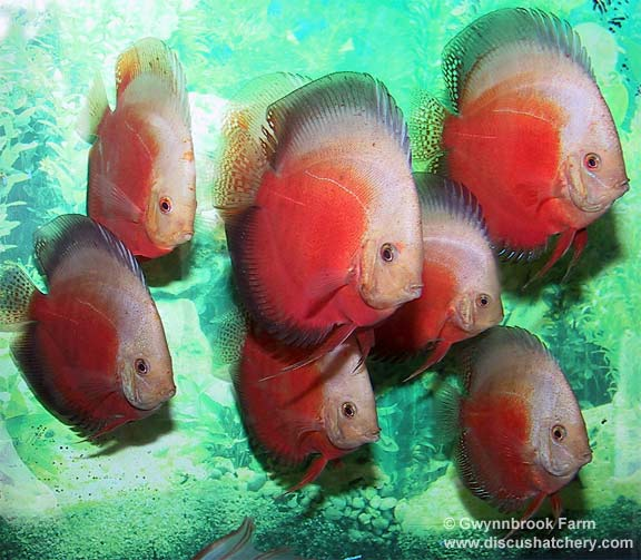 Group of Red White discus fish at gwynnbrook farm