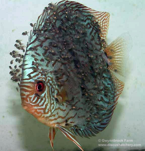 Turquoise Discus Fish with lots of fry