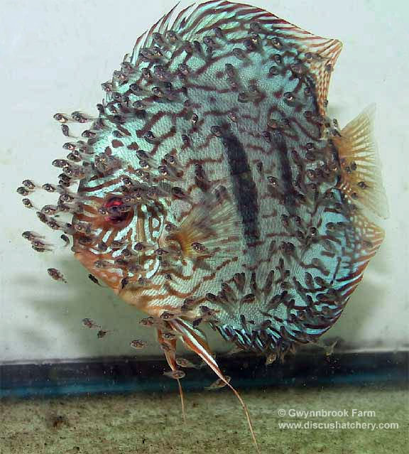 Large turquoise discus fish covered by fry