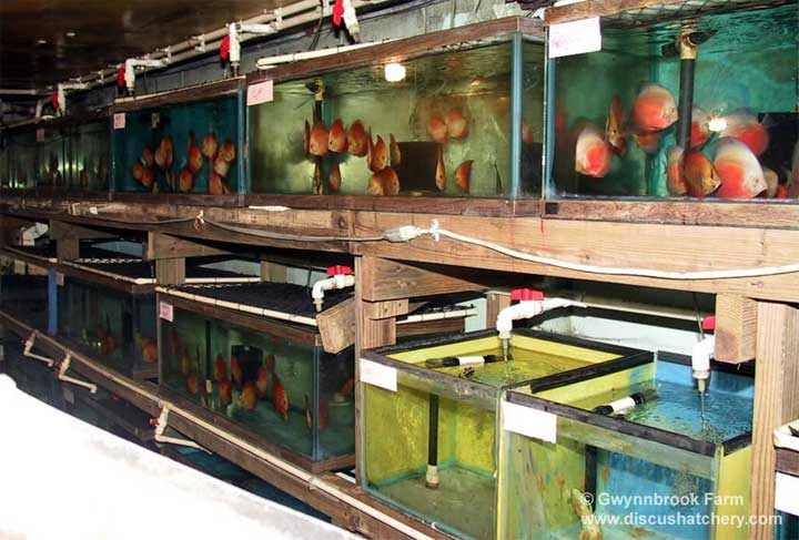 A section of our discus fish hatchery at gwynnbrook farm