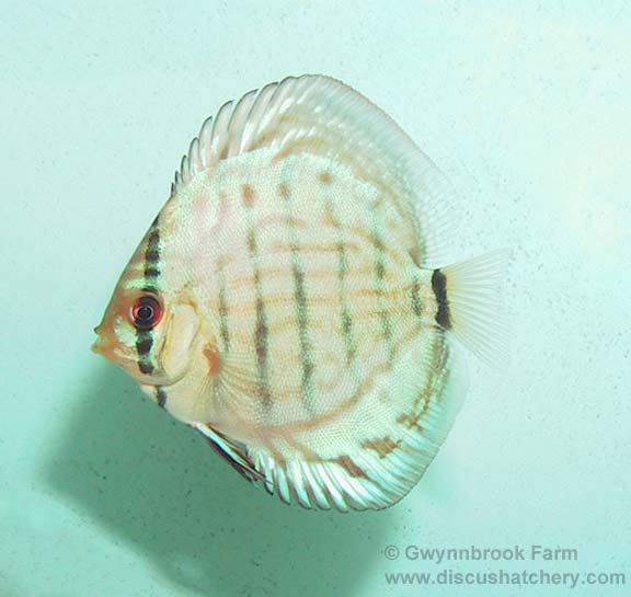 young turquoise discus fish