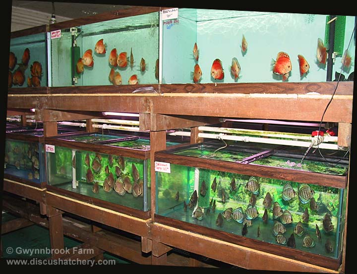 gwynnbrook farm discus hatchery aquariums