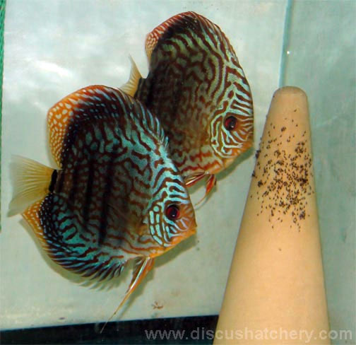 discus fish breeding pair guarding 400 wrigglers on a spawning cone
