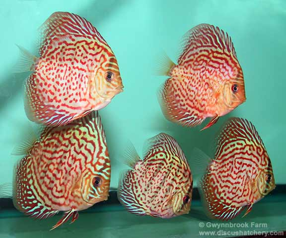 Group of Red Diamond Discus