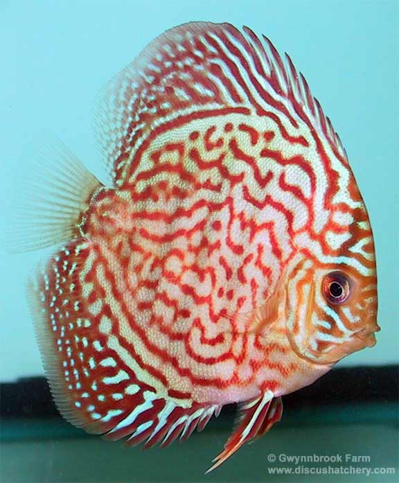closeup of red diamond discus fish