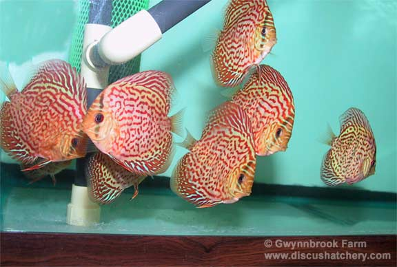 aquarium with red diamond discus