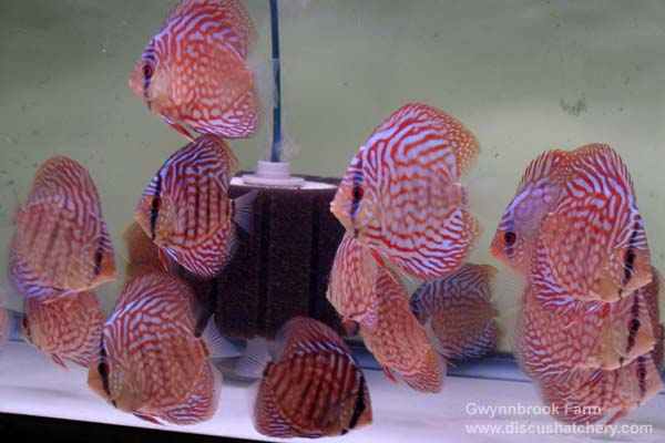 scribble red turquoise discus fish