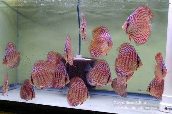 scribble red turquoise discus for sale
