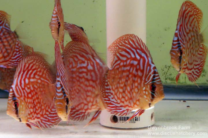 shoaling group of scribble red turquoise discus fish