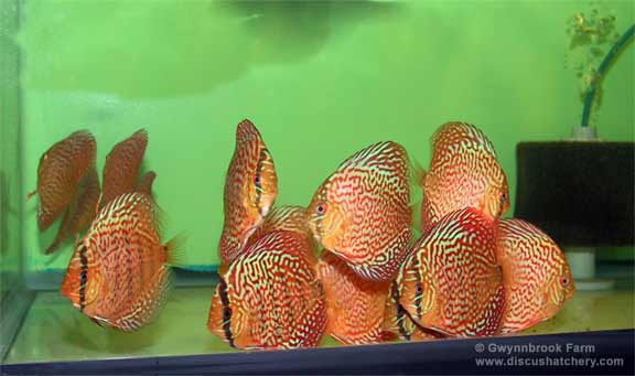 Super Red Turquoise Discus Fish at our hatchery