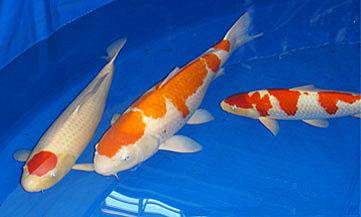 Makc 39 s koi fish and goldfish show america 2009 for Koi vs goldfish